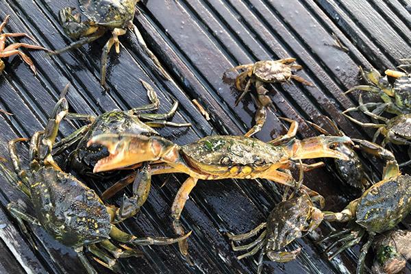 600x400-crabs